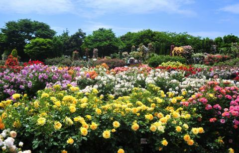 Roses in Keisei Rose Garden2