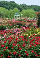 Roses in Keisei Rose Garden1
