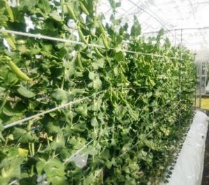 安房地域のスナップエンドウ栽培