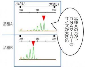 落花生DNA鑑定技術の開発~ブランド品種の信頼性を確保する~